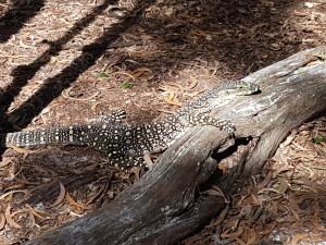 Beim Bushwalk liefen uns Goanas über den Weg. Die drei stritten sich ein wenig über ihr Territorium und zeigten zischen ihre langen, gespaltenen Zungen