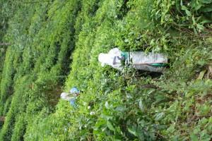 Fußweg vorbei an Teeplantagen